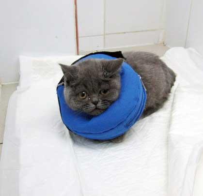 Воротник послеоперационный для кошек