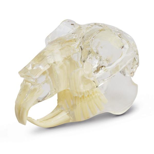 Стоматологическая модель грызун
