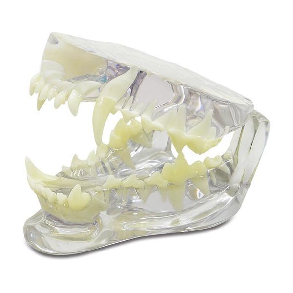 Стоматологическая модель собака